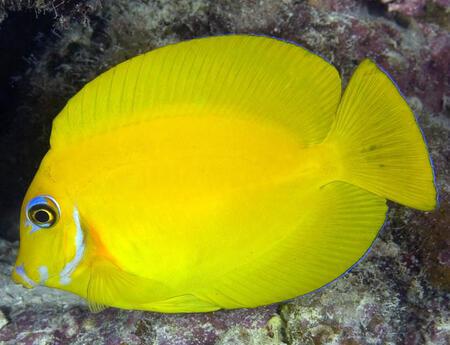 Acanthurus pyroferus juvenilní