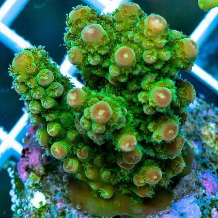 Acropora florida