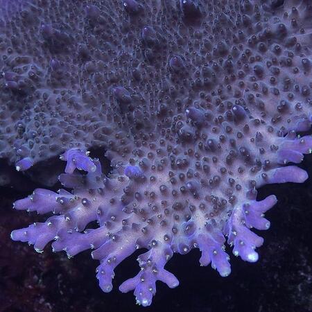 Acropora solitaryensis