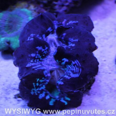 Tridacna maxima ultra blue Tahiti 14 cm WYSIWYG