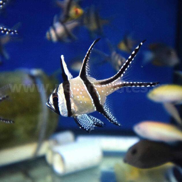 Pterapogon cauderni-Parmovec skvělý - 1