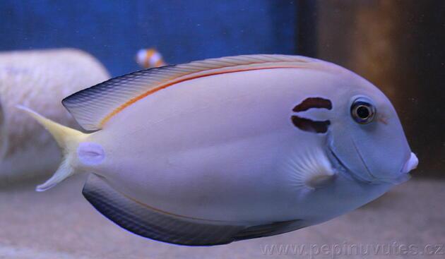 Acanthurus tenneti - 1