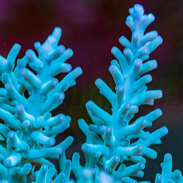 Acropora turaki