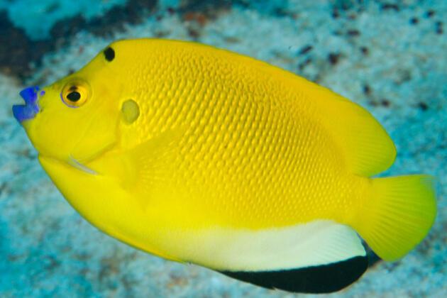 Apolemichthys trimaculatus-Pomec tříbodý
