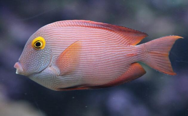 Ctenochaetus strigosus-Bodlok žlutooký