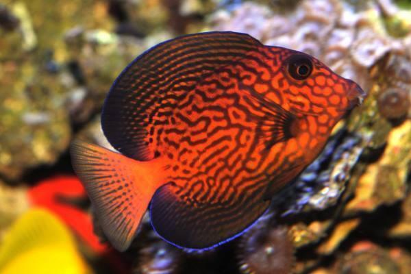 Ctenochaetus hawaiiensis-Bodlok havajský - 1