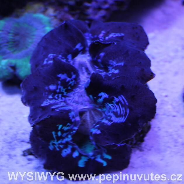 Tridacna maxima ultra blue 14 cm-Zéva velká - 1