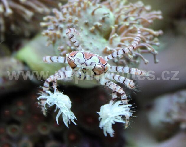 Lybia tesselata-Krab boxující - 1
