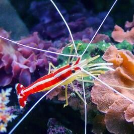 Lysmata amboinensis-Krevetka pruhovaná