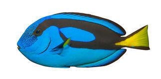 Paracanthurus hepatus-Bodlok pestrý