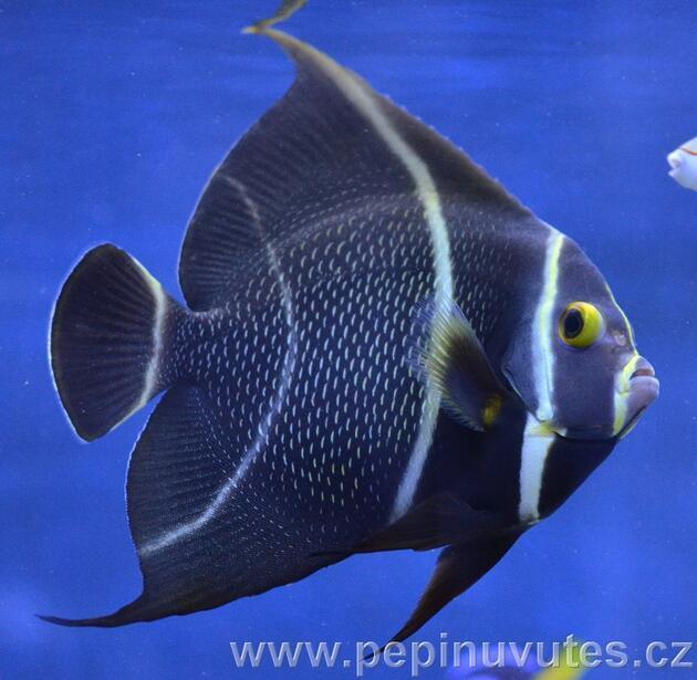 Pomacanthus paru - 1