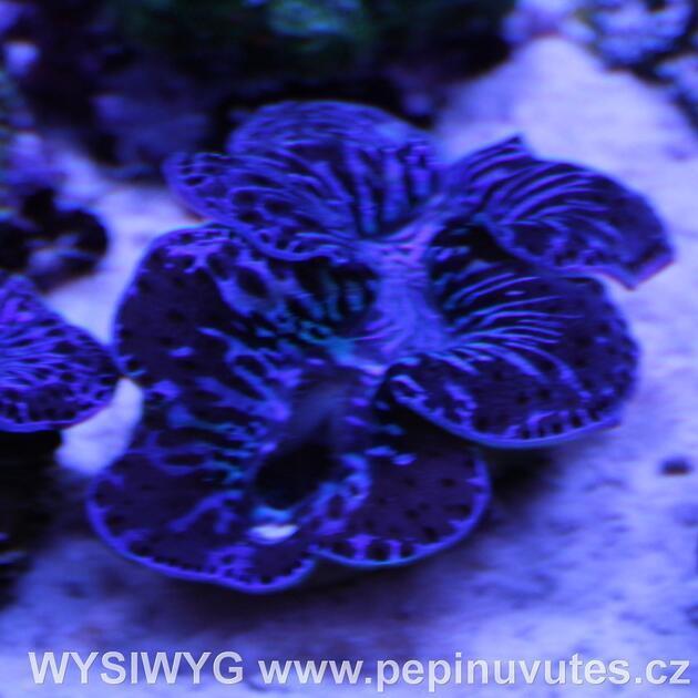 Tridacna maxima ultra blue 6 cm-Zéva velká