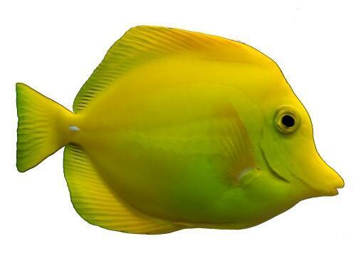 Zebrasoma flavescens-Bodlok žlutý - 1