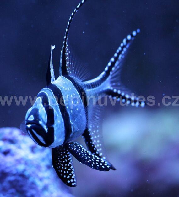 Pterapogon cauderni-Parmovec skvělý - 2