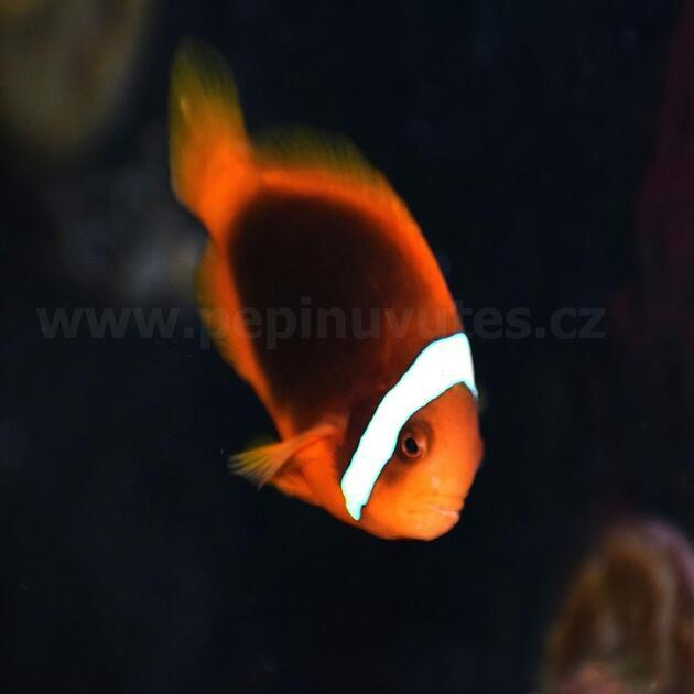 Amphiprion frenatus-Klaun uzdičkatý - 2