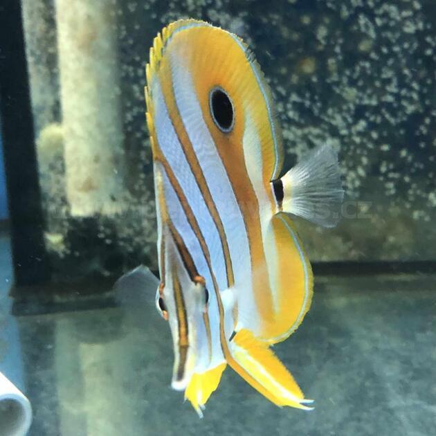 Chelmon rostratus-Zobec obecný - 2