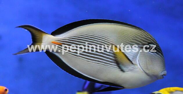 Acanthurus sohal - 2