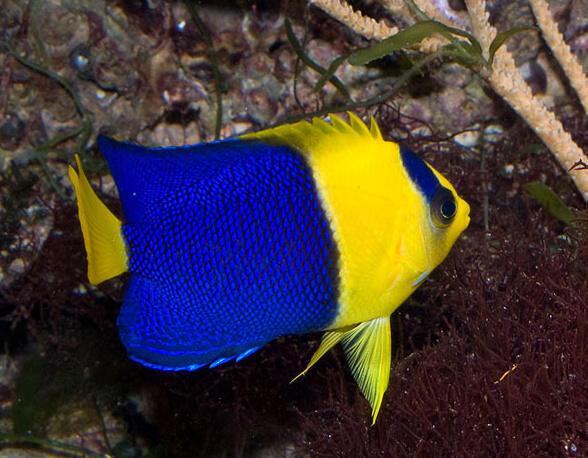 Centropyge bicolor - 2