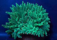 Entacmaea quadricolor - 2/2