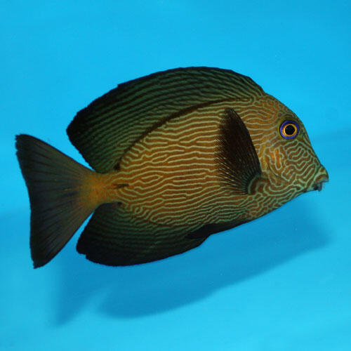 Ctenochaetus hawaiiensis-Bodlok havajský - 2