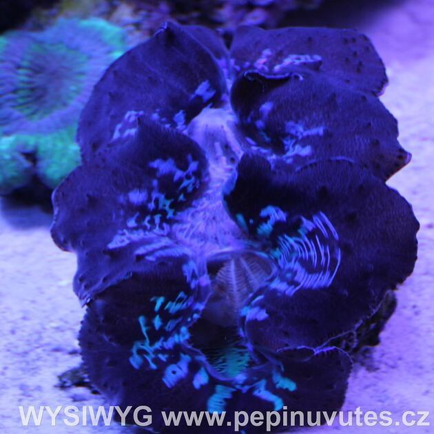 Tridacna maxima ultra blue 14 cm-Zéva velká - 2