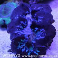 Tridacna maxima ultra blue 14 cm-Zéva velká - 2/3