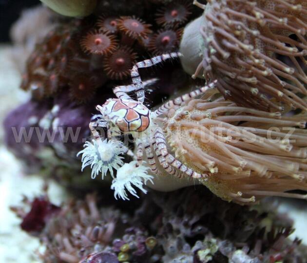 Lybia tesselata-Krab boxující - 2