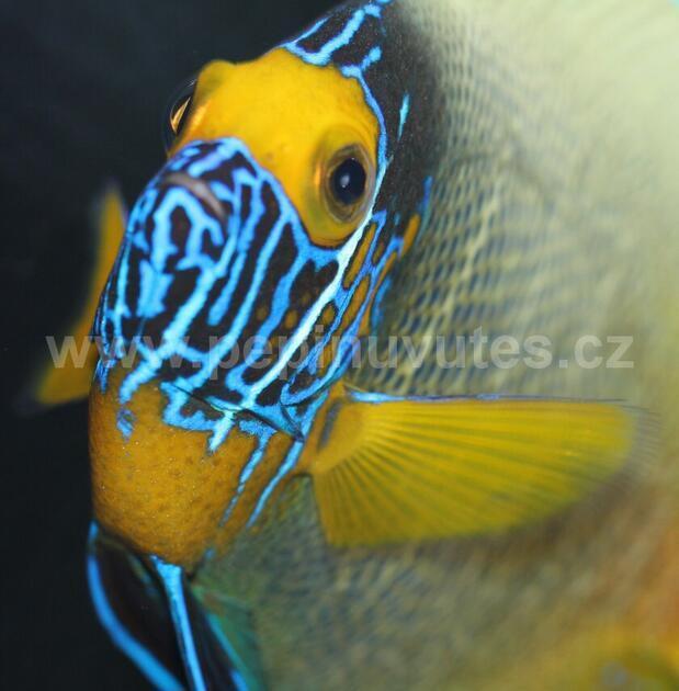 Pomacanthus xanthometopon-Pomec modrohlavý - 2
