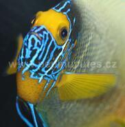 Pomacanthus xanthometopon-Pomec modrohlavý - 2/3