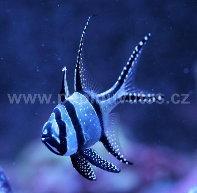 Pterapogon cauderni-Parmovec skvělý - 3