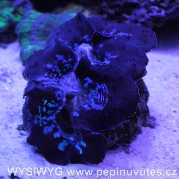 Tridacna maxima ultra blue 14 cm-Zéva velká - 3