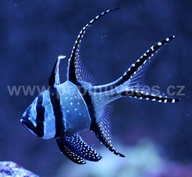 Pterapogon cauderni-Parmovec skvělý - 4