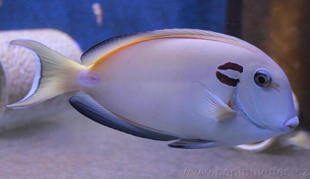 Acanthurus tenneti - 4